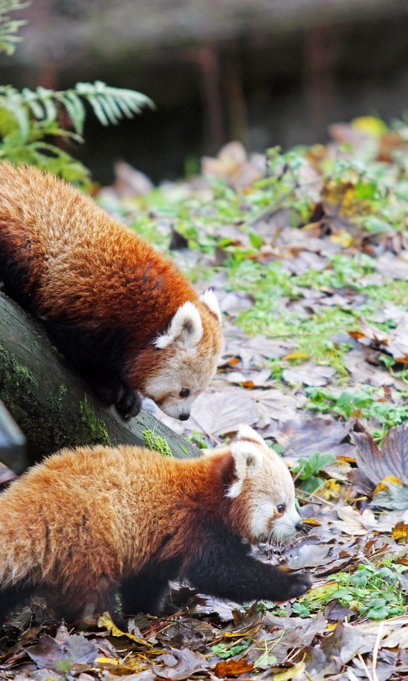 5_Belfast Zoo is celebrating the birth of endangered twin red panda cubs!