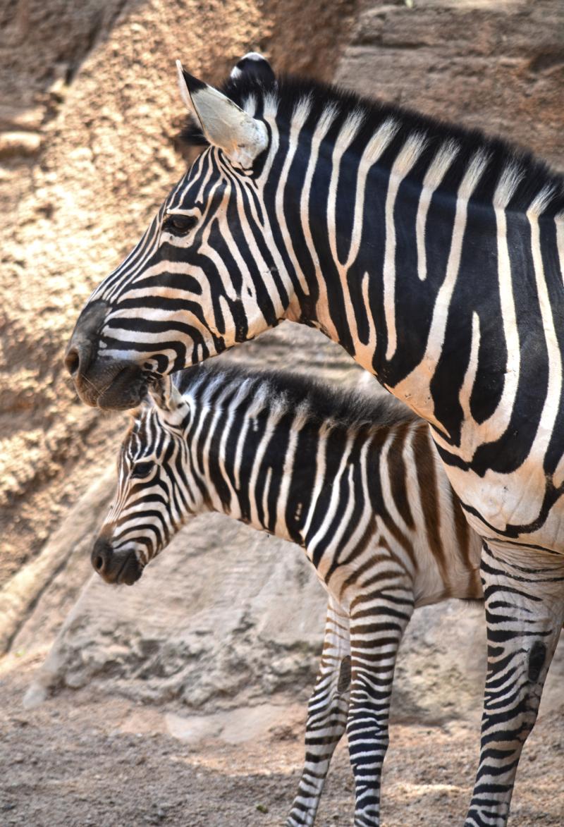 Cebras - madre y potro nacido 10 julio - verano 2018 - BIOPARC Valencia