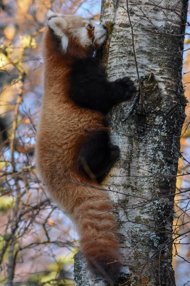 3_red panda kits Pokhara and Shimla