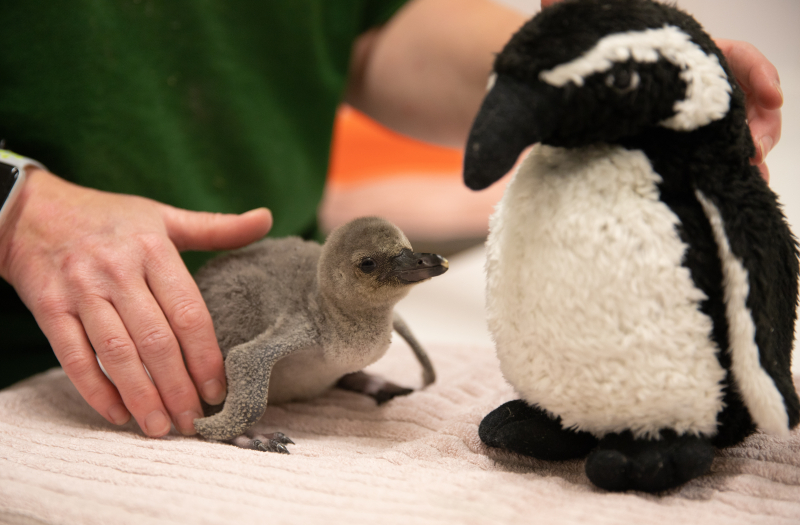 1_Rainbow the penguin chick at ZSL London Zoo (c) ZSL (6)