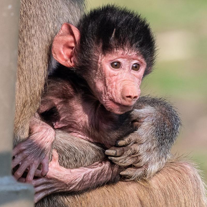 Baby Baboon born 20181103-4355