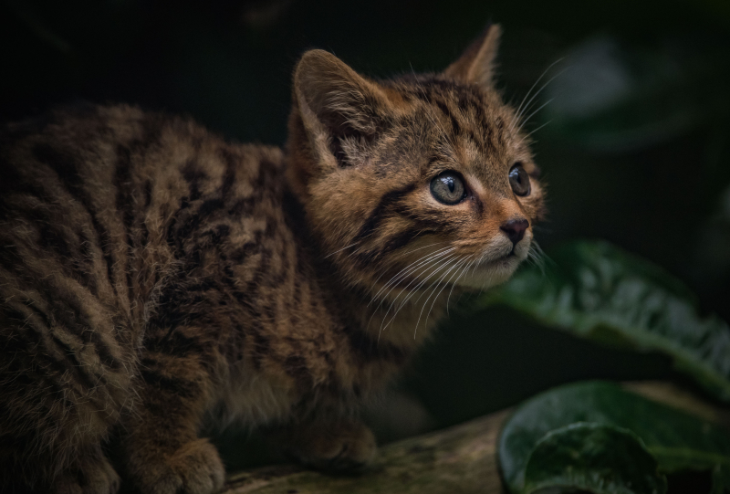 2_Britain's rarest mammal – the Scottish wildcat – has been born at Chester Zoo (43)
