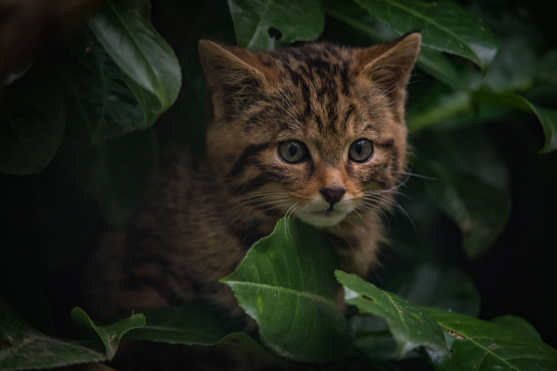 3_Britain's rarest mammal – the Scottish wildcat – has been born at Chester Zoo (34)