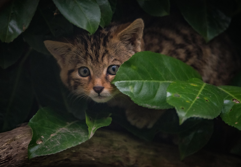 4_Britain's rarest mammal – the Scottish wildcat – has been born at Chester Zoo (30)