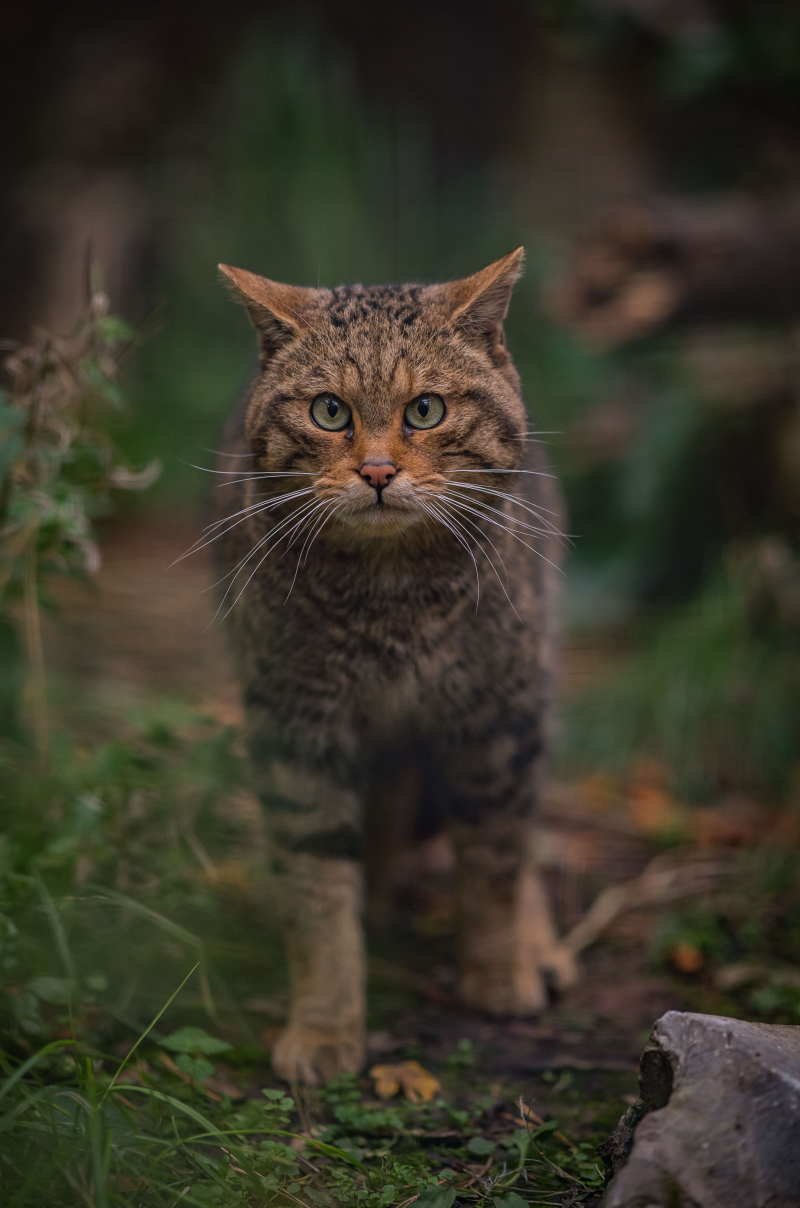 11_Britain's rarest mammal – the Scottish wildcat – has been born at Chester Zoo to mum Einich (26)