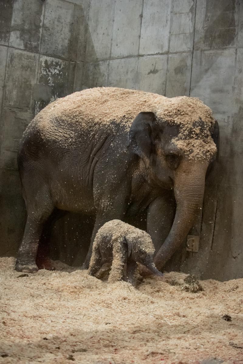 6_Asian Elephant Calf 0362 - Grahm S. Jones  Columbus Zoo and Aquarium