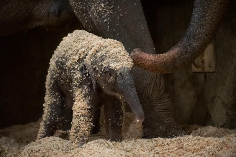 7_Asian Elephant Calf 0402 - Grahm S. Jones  Columbus Zoo and Aquarium