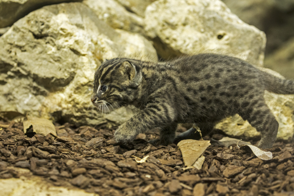 66851cf5c New Kitten  Fishing  for Compliments at Hellabrunn - ZooBorns
