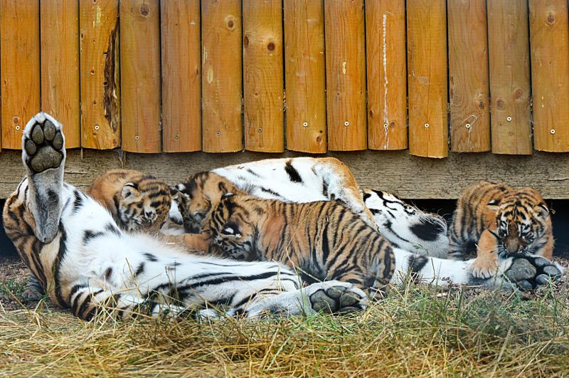 6_Mum Naya and her cubs (7)