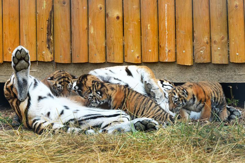 7_Mum Naya and her cubs (8)