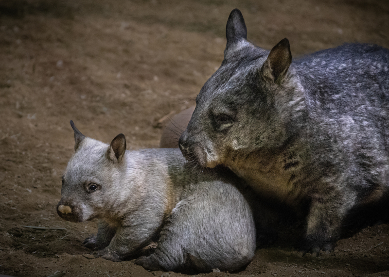 2_Wombat Baby Male and Mom JEP_0871