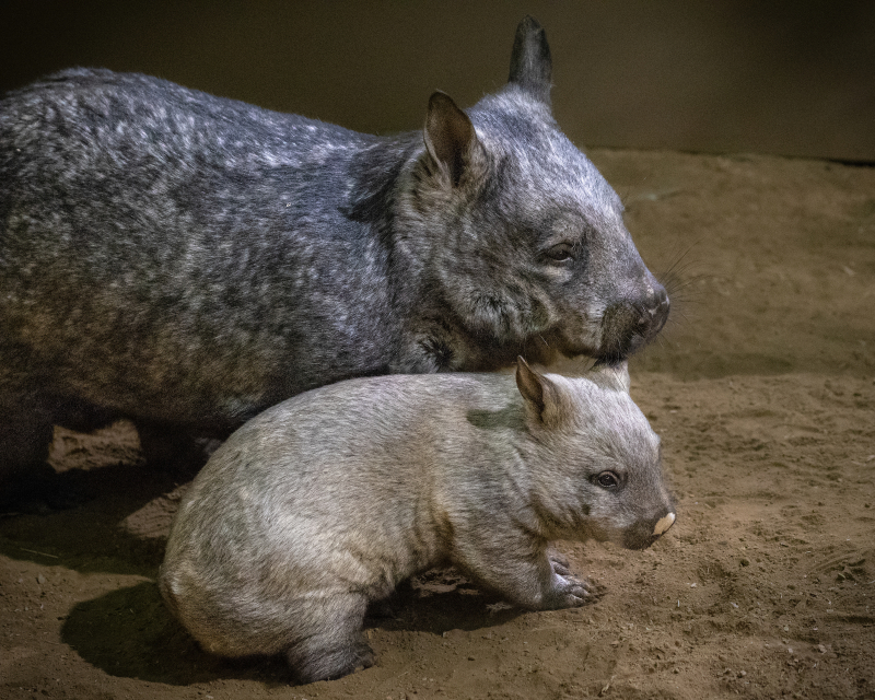 4_Wombat Baby Male and Mom JEP_0908