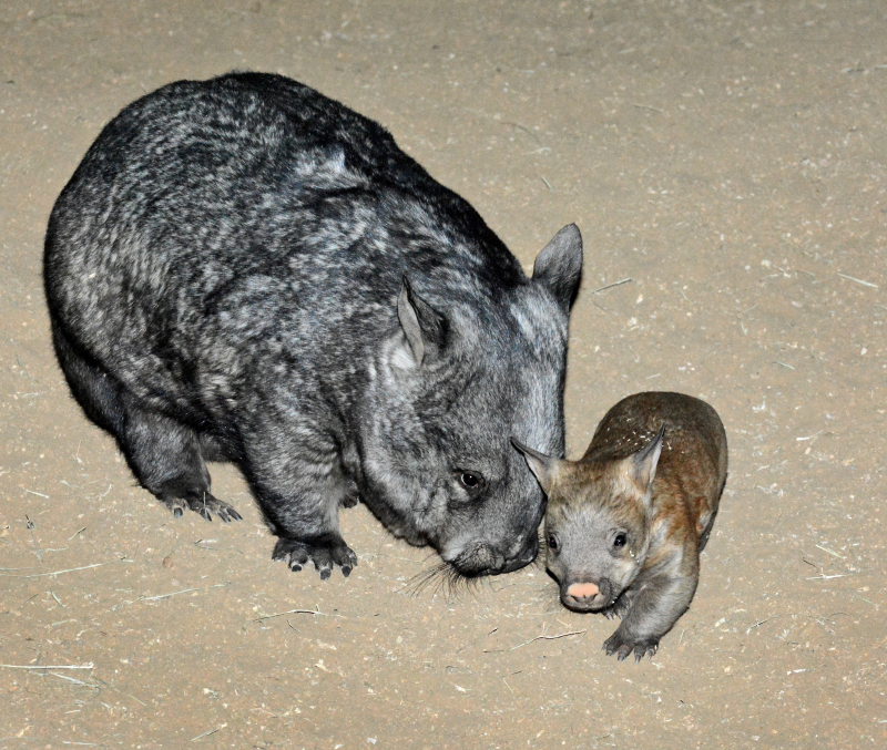 5_Female Wombat & Joey 11-9-18 By Tad Motoyama _0647