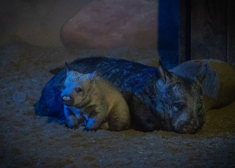 6_Wombat Baby Male with Mom JEP_8941.jpg