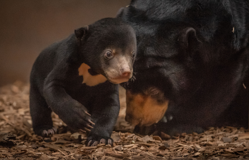 1. Precious sun bear cub Kyra is first of her kind to be born in the UK (8)