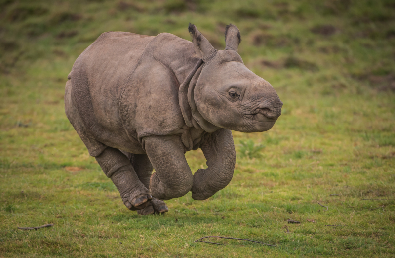 4. Greater one-horned rhino calf Akeno gives new hope to species (2)