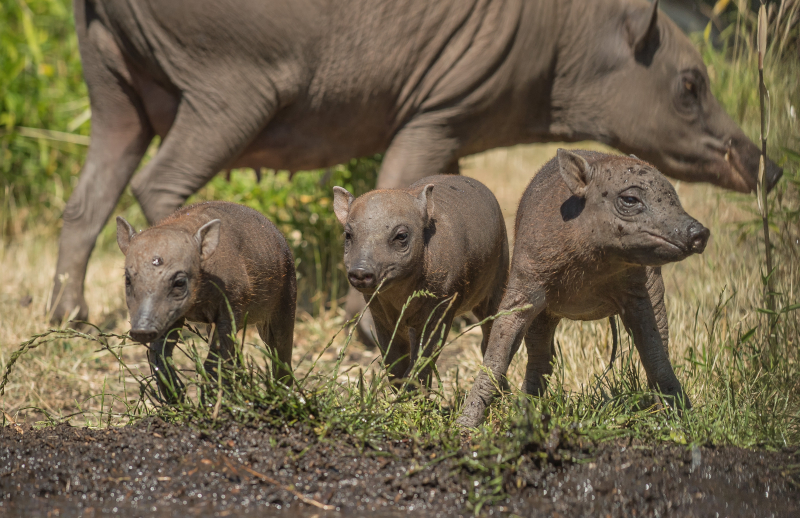 9. Tiny babirusa triplets arrive in zoo 'first' (3)