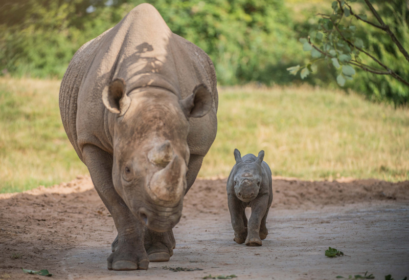 10. Black rhino birth a surprise to visitors  (5)