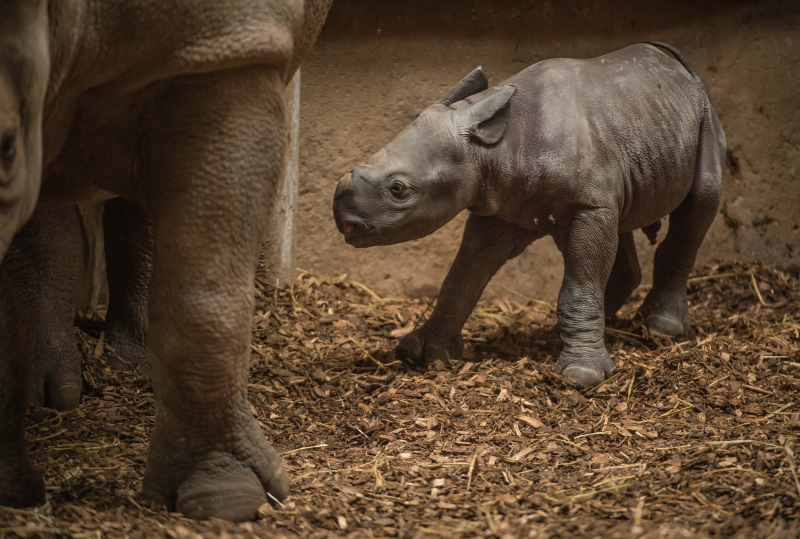 3_Baby black rhino birth catches visitors by surprise at Chester Zoo (8)