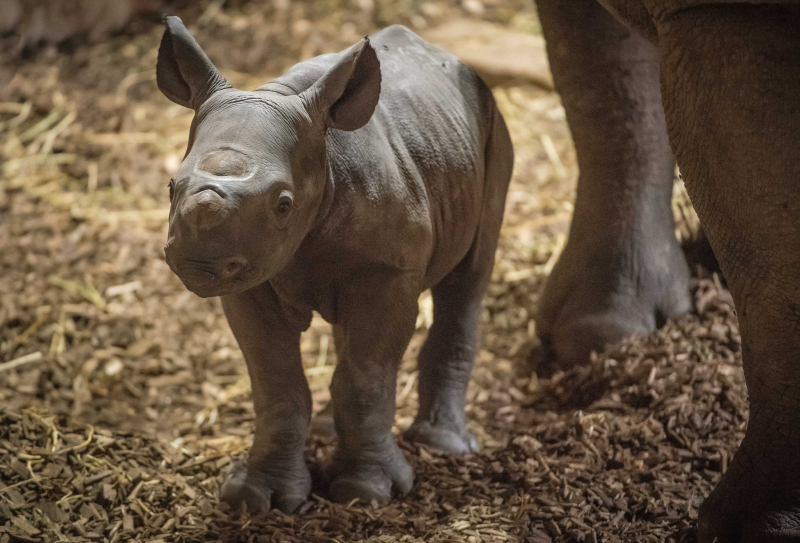 6_Baby black rhino birth catches visitors by surprise at Chester Zoo (4)