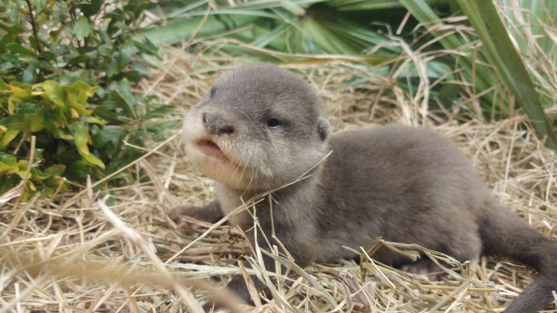 1_baby otter
