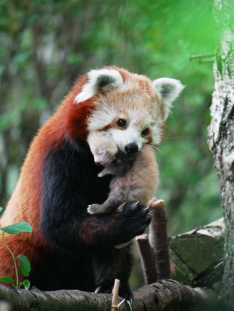 Red Panda Kit 3 weeks old 2- credit Corinne Pardey
