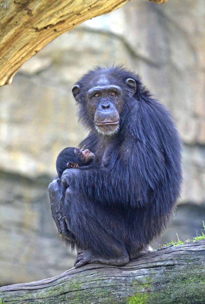 3_Agosto 2018 - La chimpancé Noelia y su bebé nacido en BIOPARC Valencia (3)