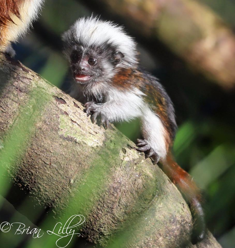Cotton top tamarin 3 - 27.12.18 - Credit Brian Lilly (1)