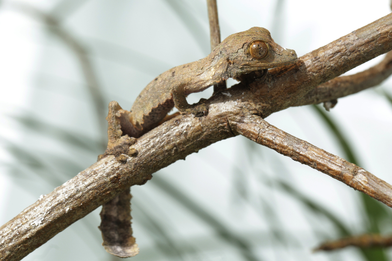 9_SZ - Henkel's Leaf-tailed Gecko young