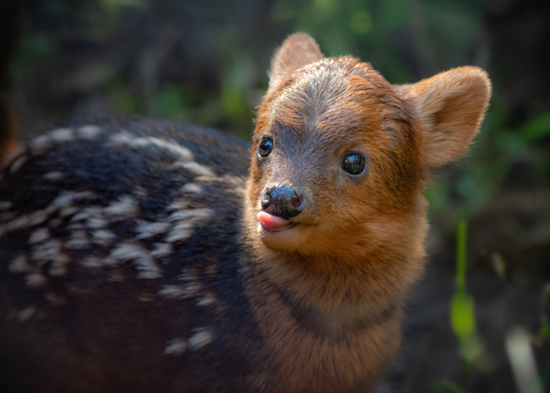 1_Pudu Baby Male Tongue Out JEP_7112