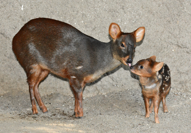 4_Pudu Mom & Fawn 1-3-19 By Tad Motoyama _4858