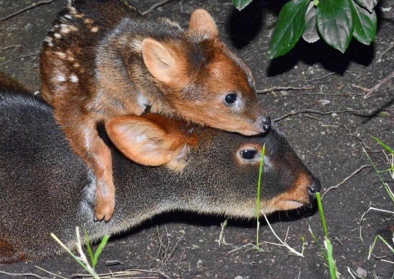 7_Pudu Fawn Climbing on Top of Mom 1-2-19 By Tad Motoyama _4650