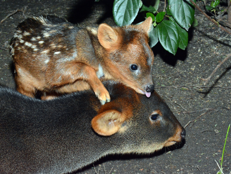 8_Pudu Fawn Licking Mom's Head 1-2-19 By Tad Motoyama _4644