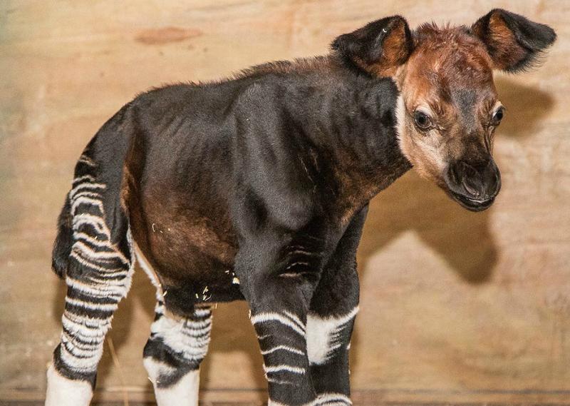 ZooTampa-Okapi-Newborn-August-2018-e1535504674544