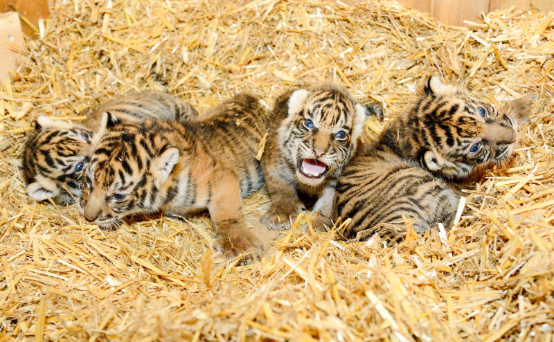 Sumatran Tiger Quad Born at Tierpark Berlin - ZooBorns
