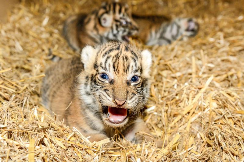Sumatra-Tiger-Nachwuchs_Tierpark Berlin 2018 (1)