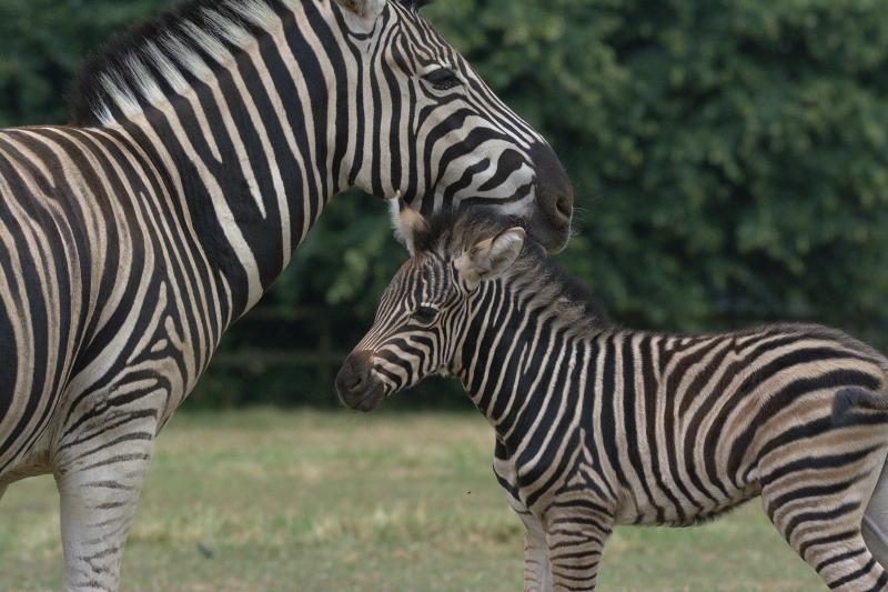 11_Zebra foal 2018 Cotswold Wildlife Park (photo credit Jackie Thomas) (12)