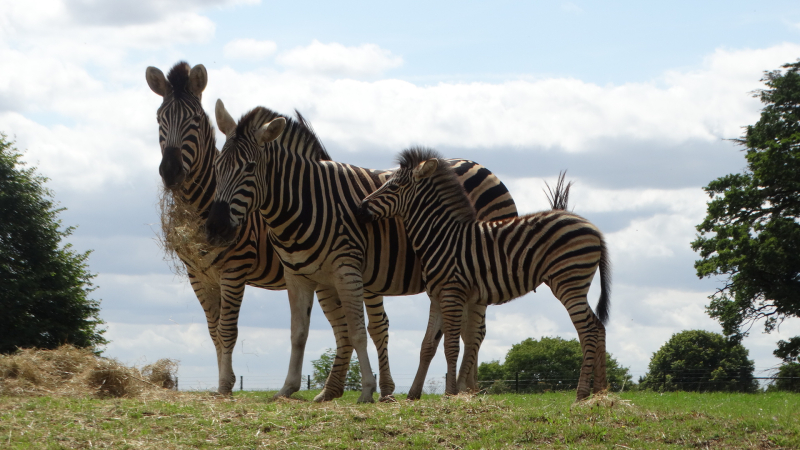 13_Zebras together (dad  mum and foal) (1)