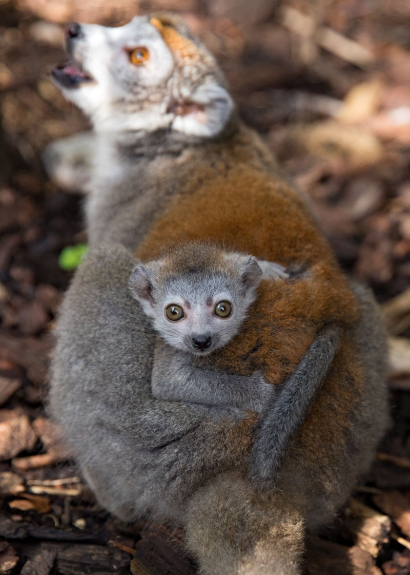 4_Crowned Lemur2