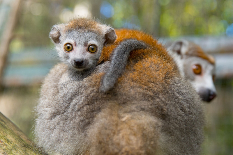 5_Crowned Lemur4
