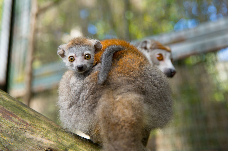 6_Crowned Lemur3