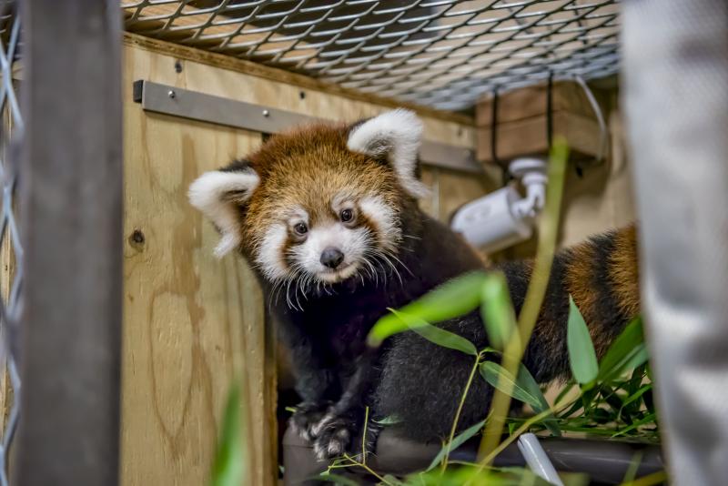 Red Panda Baby 09-2018-6063 E