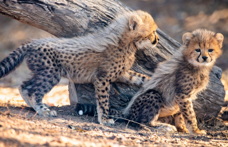 4_CheetahCubs8