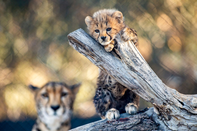 5_CheetahCubs5