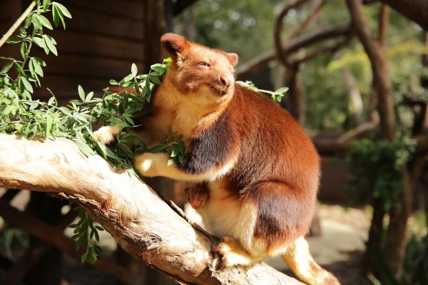 Endangered Tree Kangaroo Joey Emerges in Australia - ZooBorns