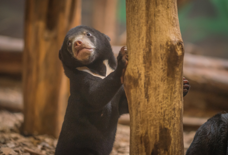 UK's first baby sun bear named Kyra (22)