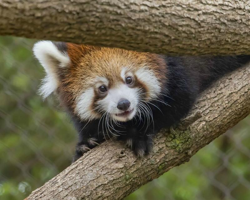 Red Panda Baby 3 E