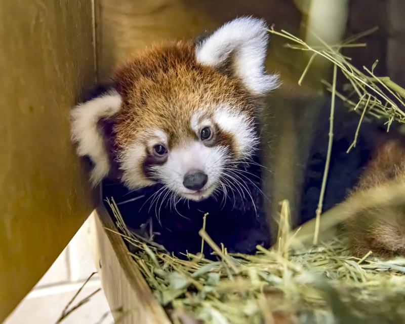 Red Panda Baby 09-2018-6039 E