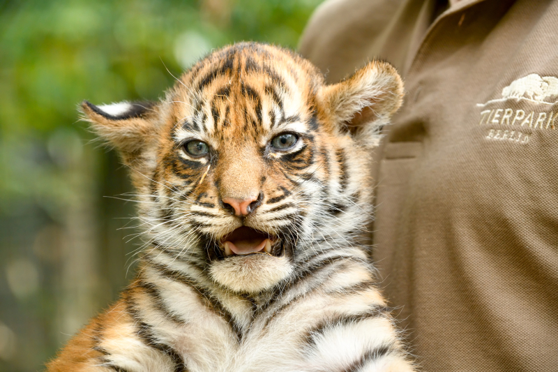 tiger zooborns