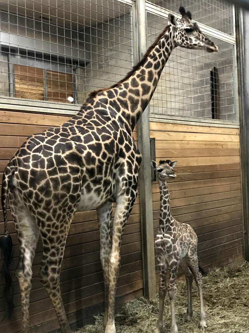 KCZoo Giraffe Calf Male 1
